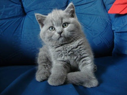 British Shorthair A Donner Nos Amis Les Animaux
