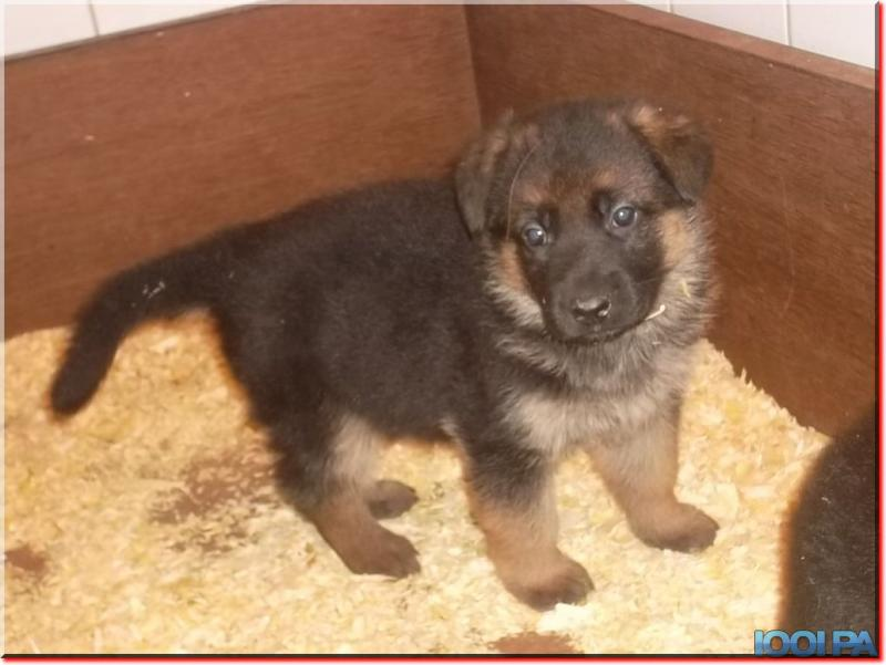 Chiot Berger Allemand A Donner Nos Amis Les Animaux