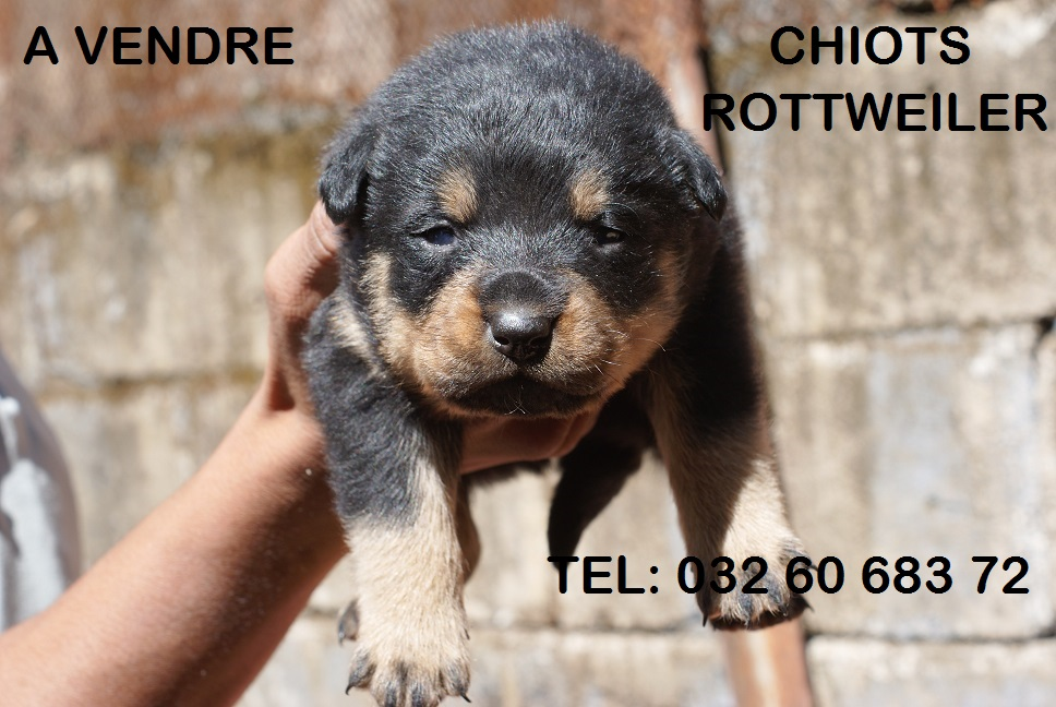 Rottweiler A Donner Nos Amis Les Animaux