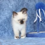 Chaton a donner var