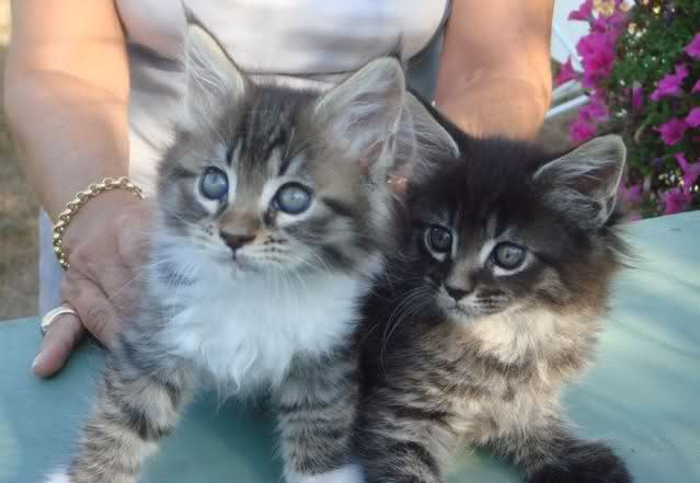 Maine Coon A Donner Nos Amis Les Animaux