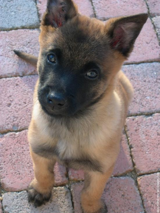 Chiot Berger Malinois A Donner Nos Amis Les Animaux