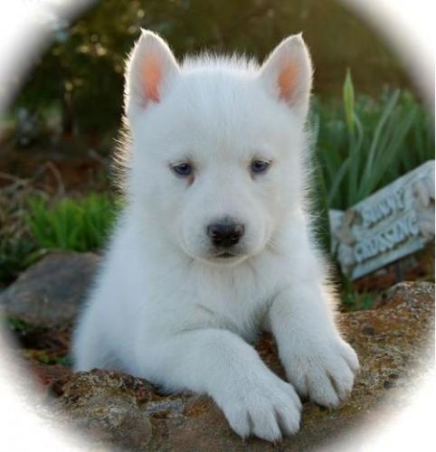 Bébé husky blanc