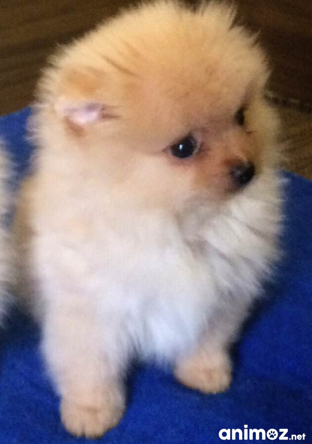Chiot Spitz Nain A Donner Nos Amis Les Animaux