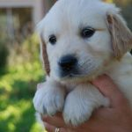 Chiot golden retriever a donner