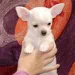 Chihuahua à donner