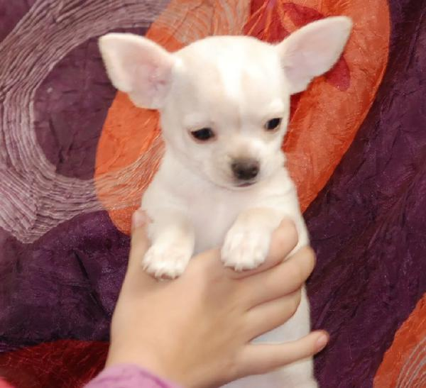 Chihuahua A Donner Nos Amis Les Animaux