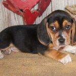 Beagle chiot a donner