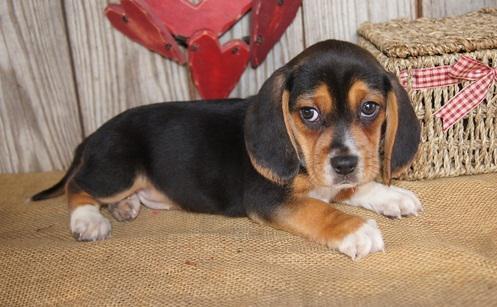 Beagle Chiot A Donner Nos Amis Les Animaux