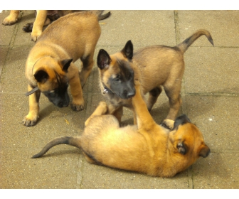 Chiot Malinois A Donner Nos Amis Les Animaux