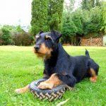 Jagd terrier a donner