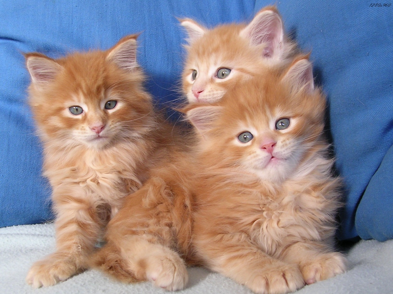 Chaton Roux A Donner Nos Amis Les Animaux