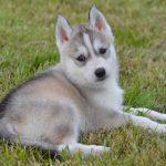 Husky blanc chiot