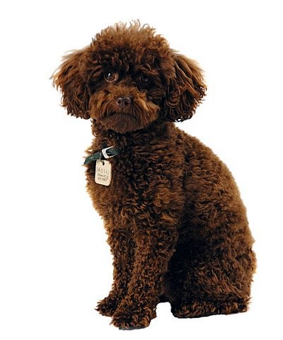 Caniche Toy A Donner Nos Amis Les Animaux