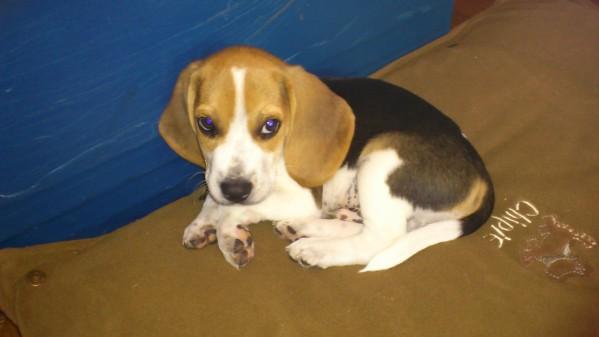 Chiot beagle a donner nos amis les animaux - Chiot beagle gratuit ...