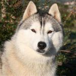 Husky blanc prix