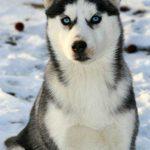 Chien loup husky