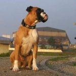 Boxer chiot a vendre