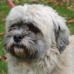 Lhassa apso a donner