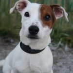Chiot jack russel a donner