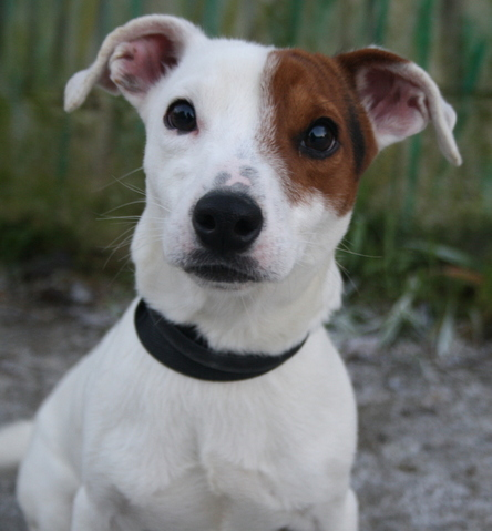 Chiot Jack Russel A Donner Nos Amis Les Animaux