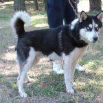 Husky a adopter