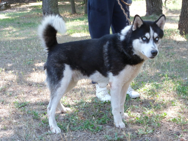 Husky A Adopter Nos Amis Les Animaux