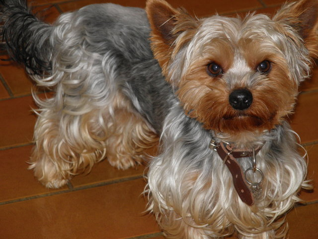 Yorkshire Terrier A Donner Nos Amis Les Animaux