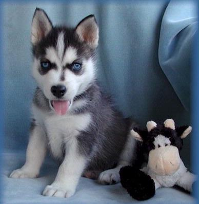 Chiot Husky A Donner Nos Amis Les Animaux