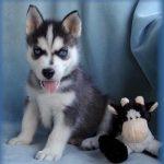 Chiot husky a vendre