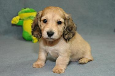 Chiot Teckel A Donner Nos Amis Les Animaux