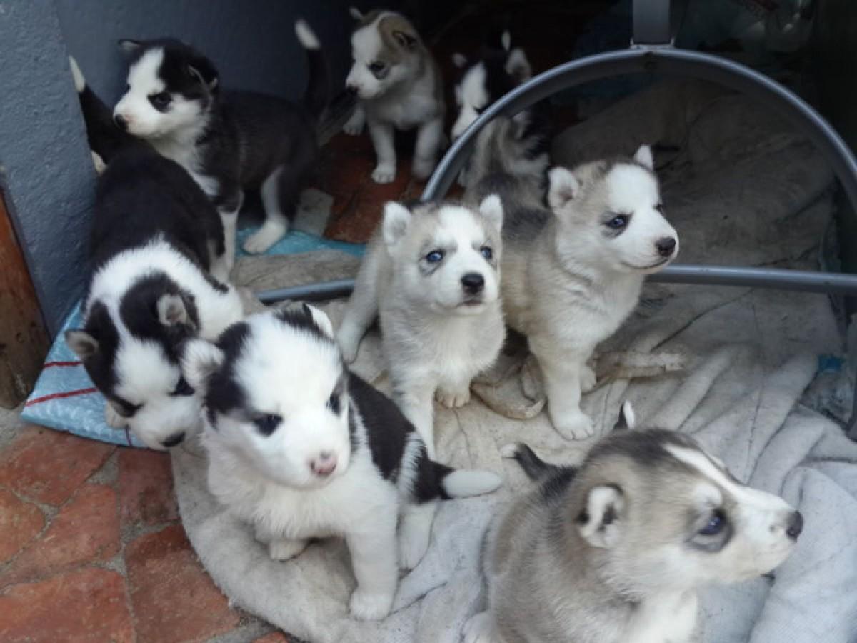 Bebe Husky A Vendre Nos Amis Les Animaux