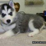 Husky a vendre