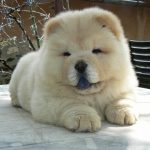 Chow chow a donner