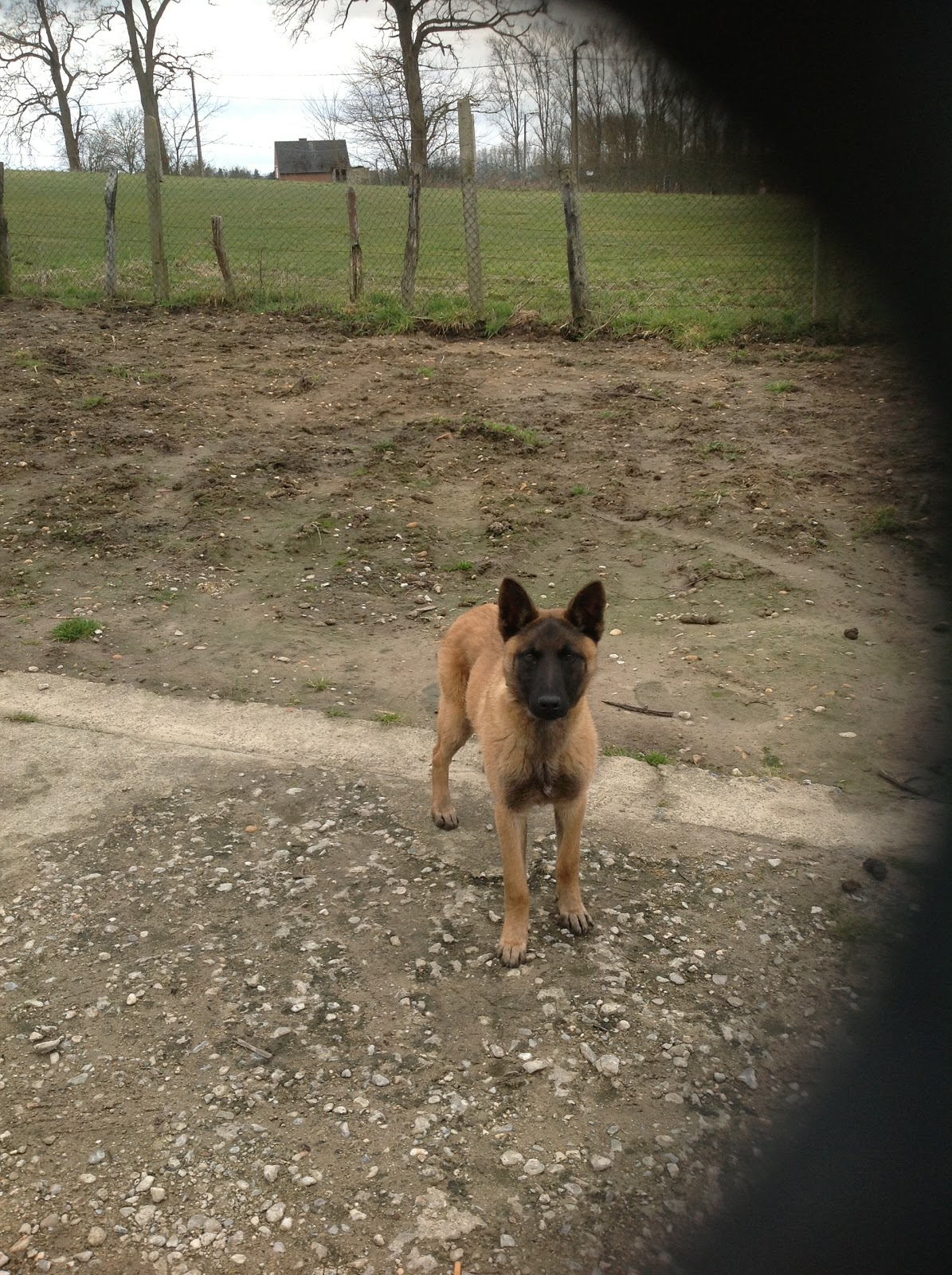 Malinois A Donner Nos Amis Les Animaux