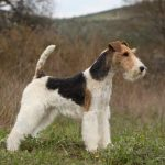 Fox terrier a donner