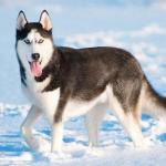 Le husky sibérien