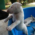 Chiot bull terrier a donner