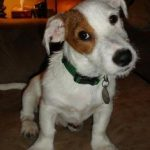 Jack russel a donner