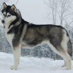Acheter un husky