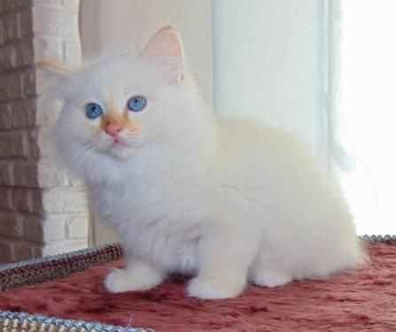 Chaton Blanc A Donner Nos Amis Les Animaux