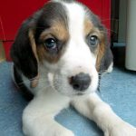 Beagle a donner