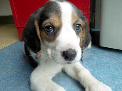 Beagle a donner nos amis les animaux - Chiot beagle gratuit ...