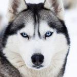 Husky chien