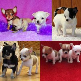 Chihuahua Nain A Donner Nos Amis Les Animaux
