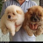 Chiot chow chow a donner