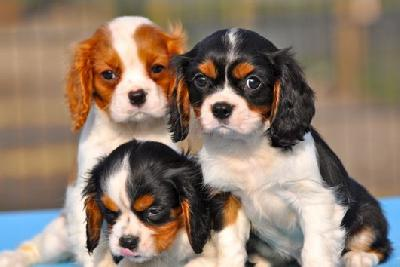 Cavalier King Charles A Donner Nos Amis Les Animaux