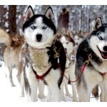 Chenil du chien loup