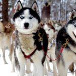 Chenil du chien loup berry
