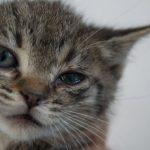 Blépharite chez le chat: symptômes et traitement
